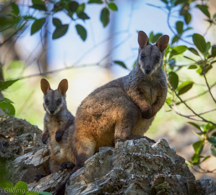 5 ways to help stop Australia's wildlife extinction crisis