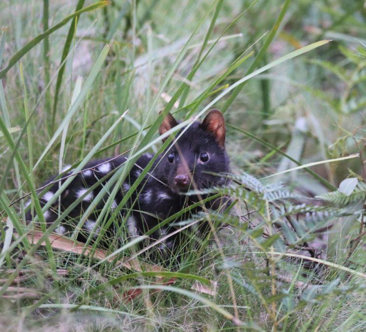 Aussie Ark Eastern quoll release into Barrington Wildlife Sanctuary