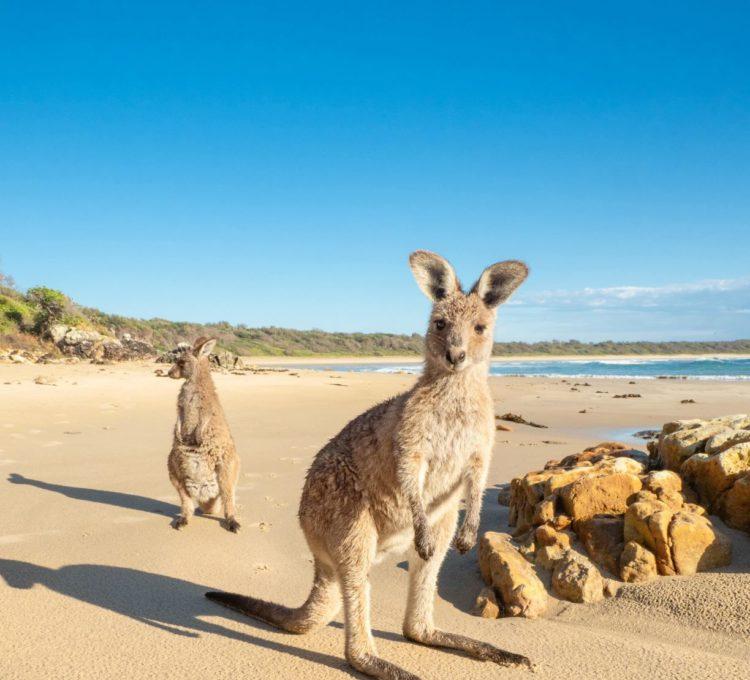 Diamond Head Crowdy Bay National Park friendly kangaroos on the beach