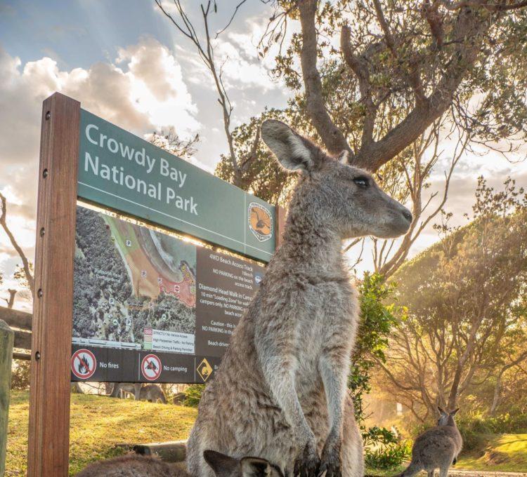 Diamond Head kangaroos, Crowdy Bay National Park