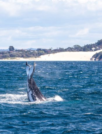 Whale tail off One Mile Beach, Forster