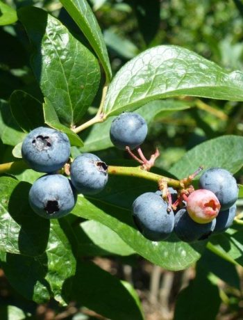 Pick your own blueberries in Waitui