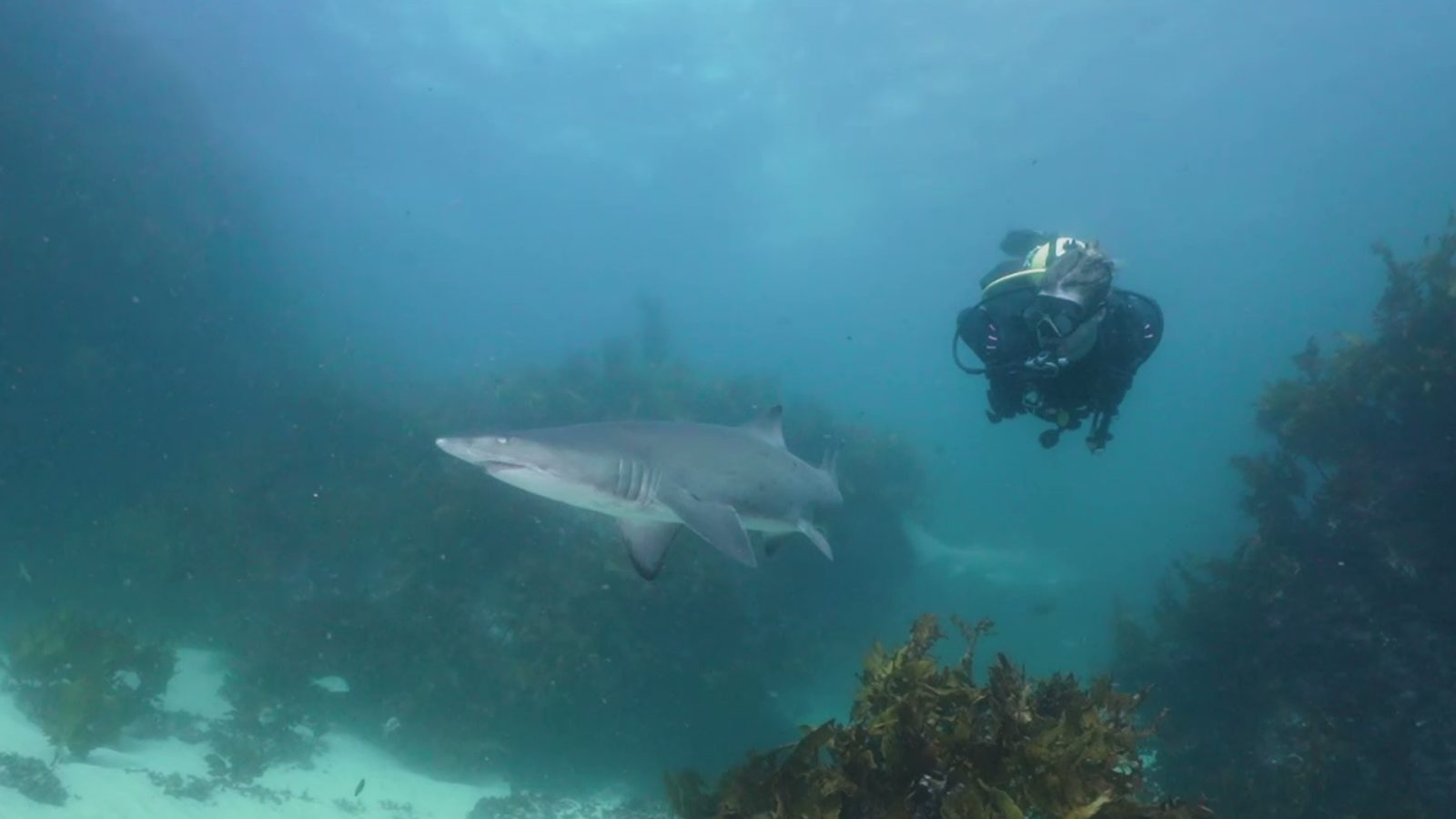 Aggregations of up to 40 Grey Nurse Sharks reside at The Pinnacle and Latitude Rock off Forster