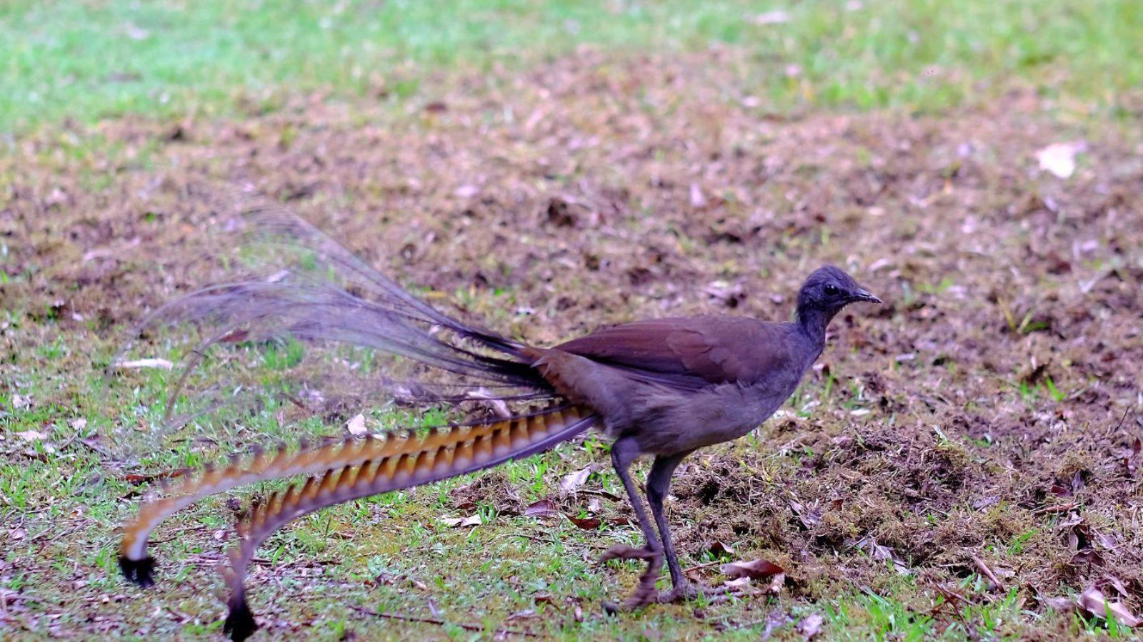 Lyrebird at Gloucester River Campground