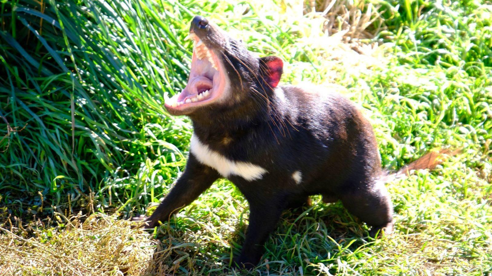 Aussie Ark Devil Tour Tasmanian Devil