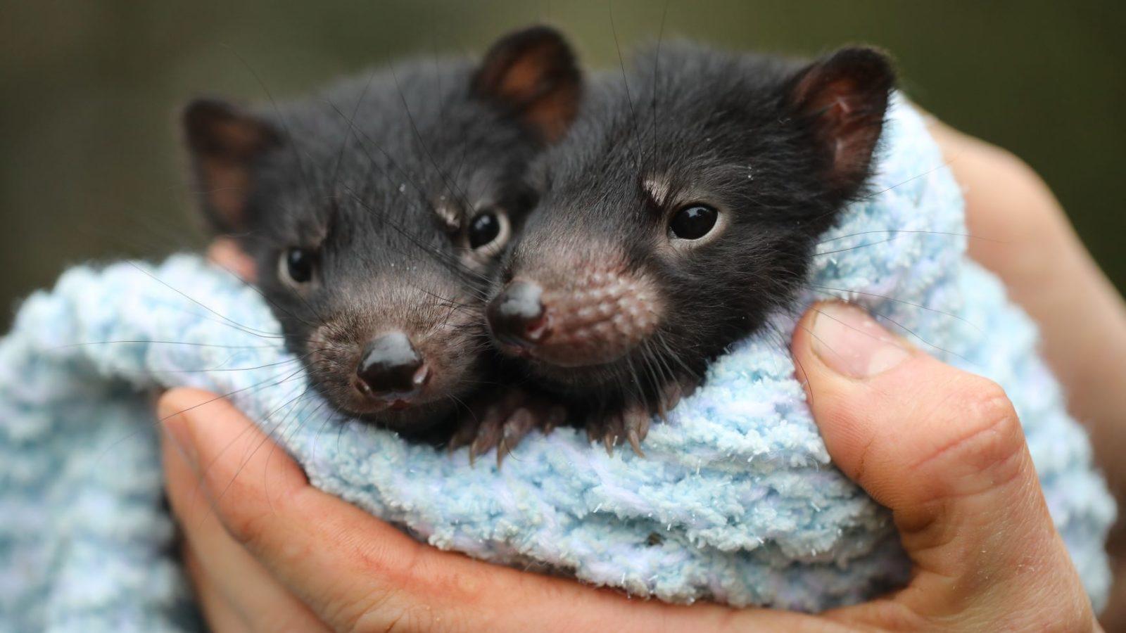 Aussie Ark Tassie Devil joeys Itchy and Scratchy
