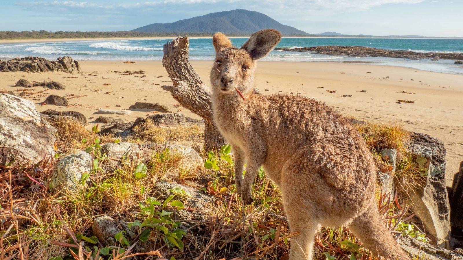 Kangaroo at Diamond Head Mark Fitz Photography