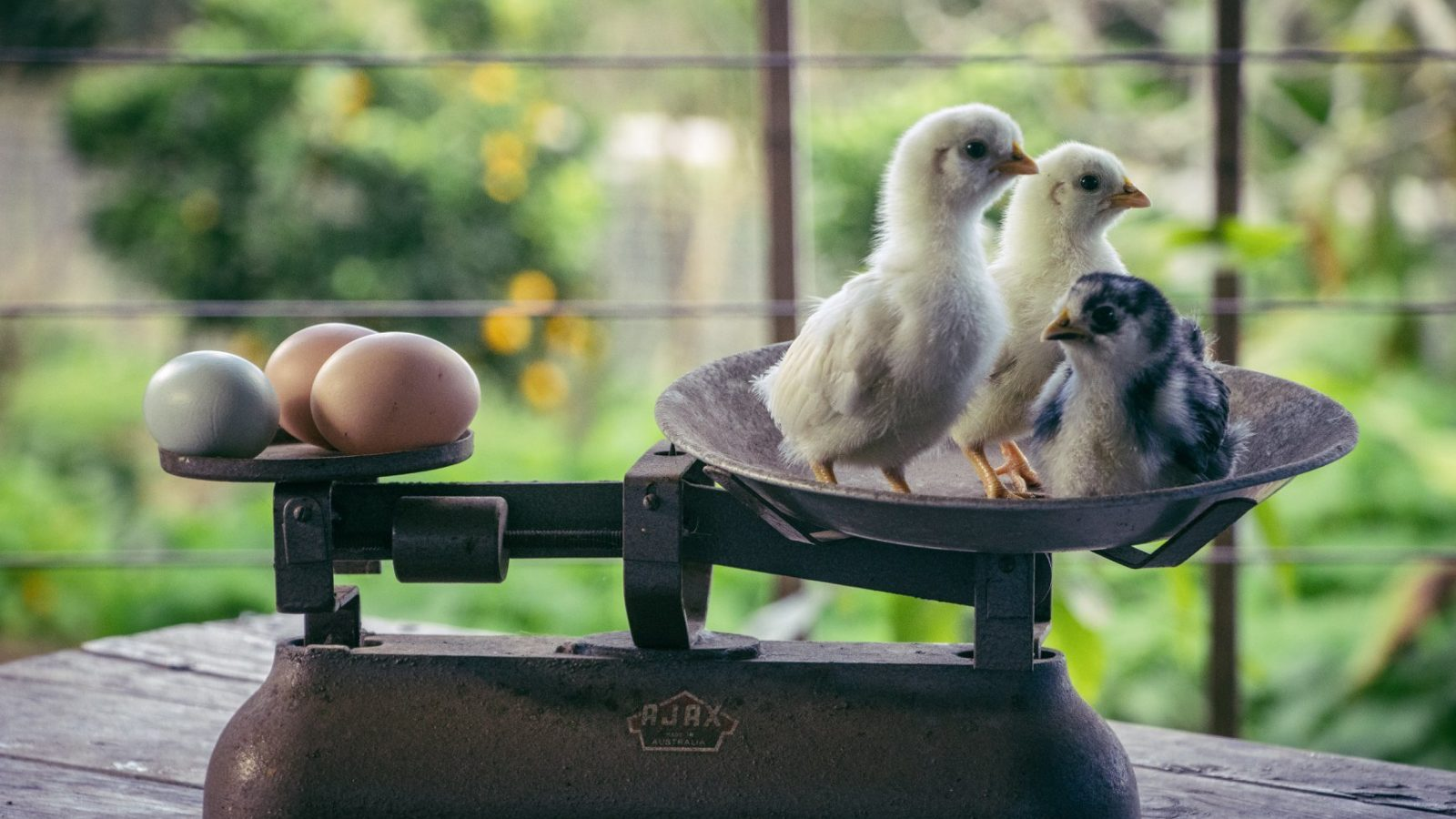 Limestone Permaculture chicks on scales