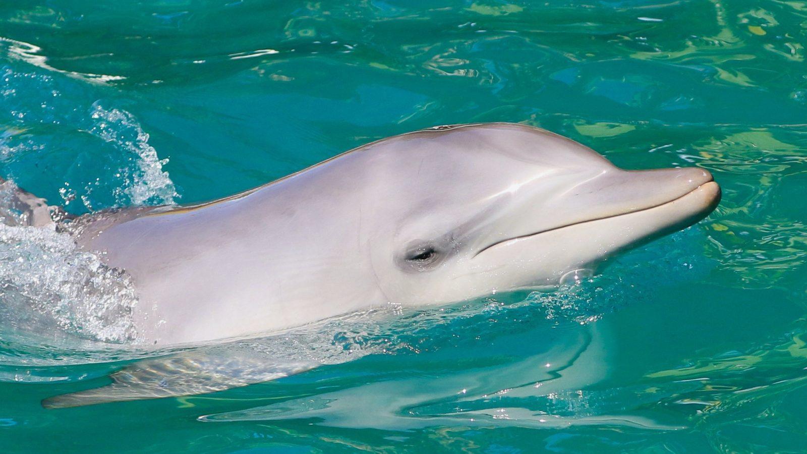 Moonshadow TQC dolphin