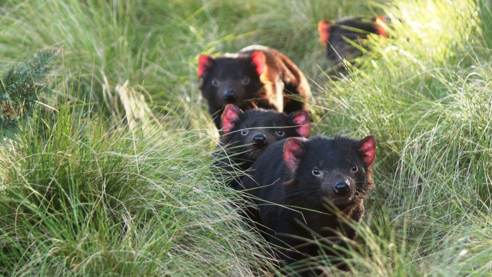 Tasmanian Devils in Aussie Ark enclosure