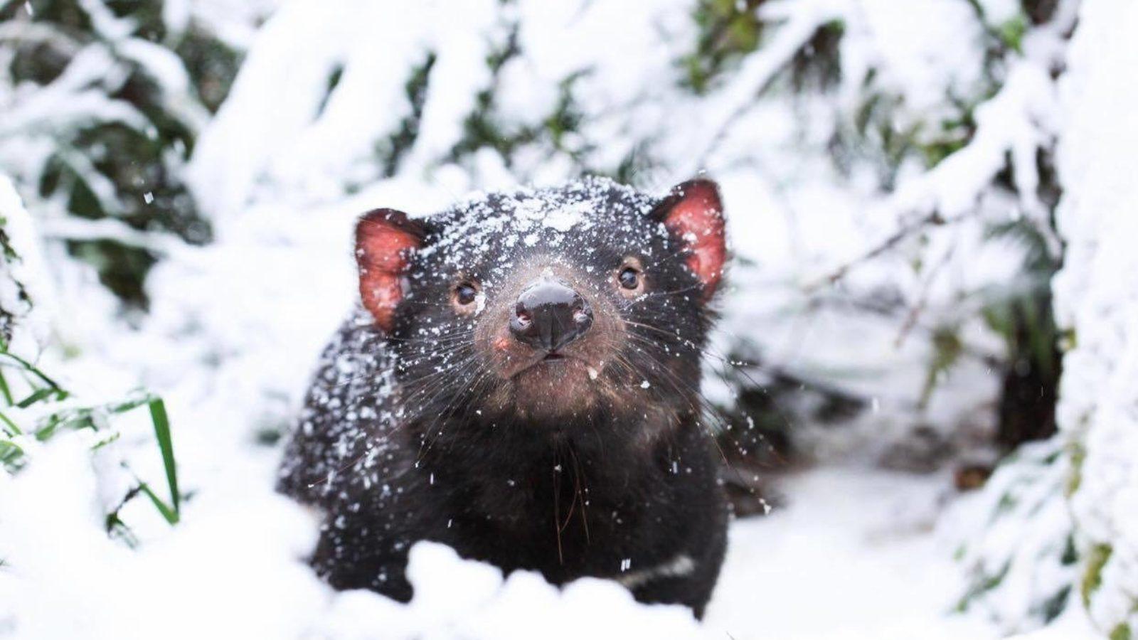 Tassie Devil in snow at Aussie Ark