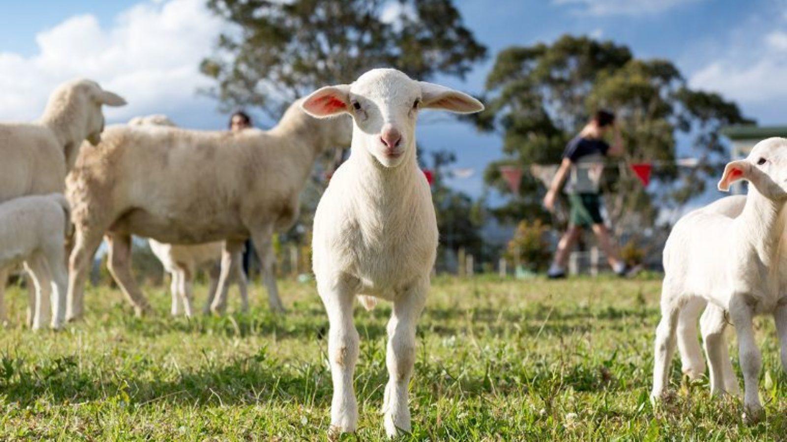 Yeo Farm Australian White Lamb 2