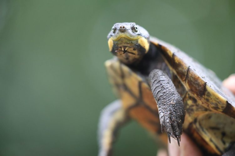 Manning River Turtle at Aussie Ark