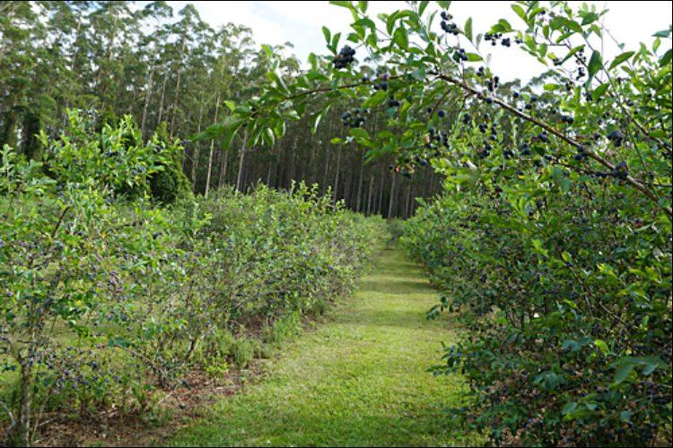 Brackenridge berries