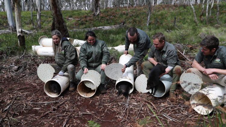 Releasing Tasmanian devils into Barrington Wildlife Sanctuary