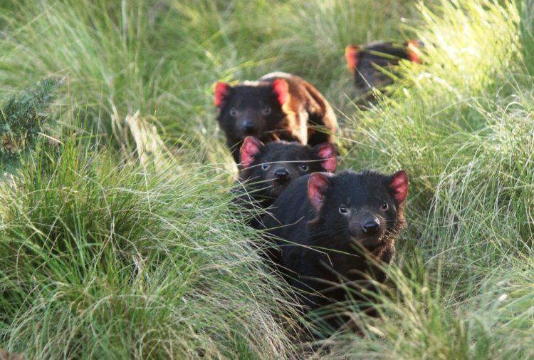 Tasmanian Devils at Aussie Ark