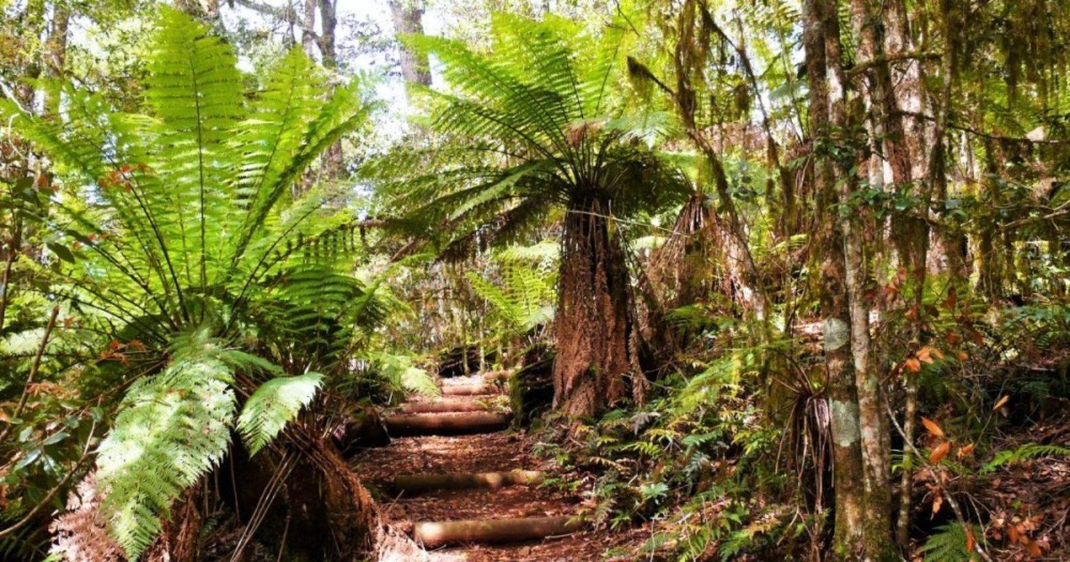 Tree ferns on Honeysuckle Forest Walk in Barrington Tops