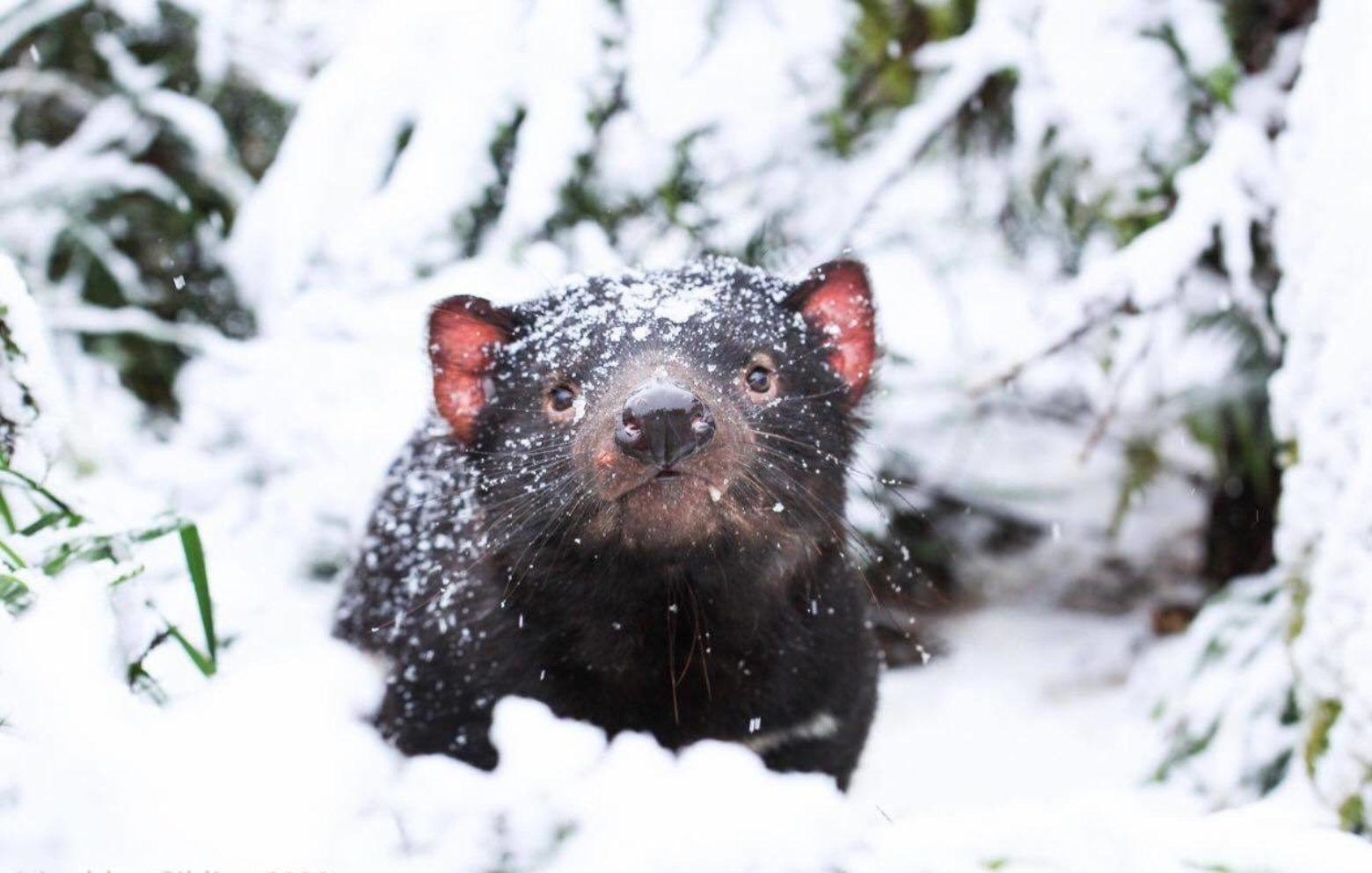 Tasmanian Devil in snow at Aussie Ark in Barrington Tops. (photo by Aussie Ark)