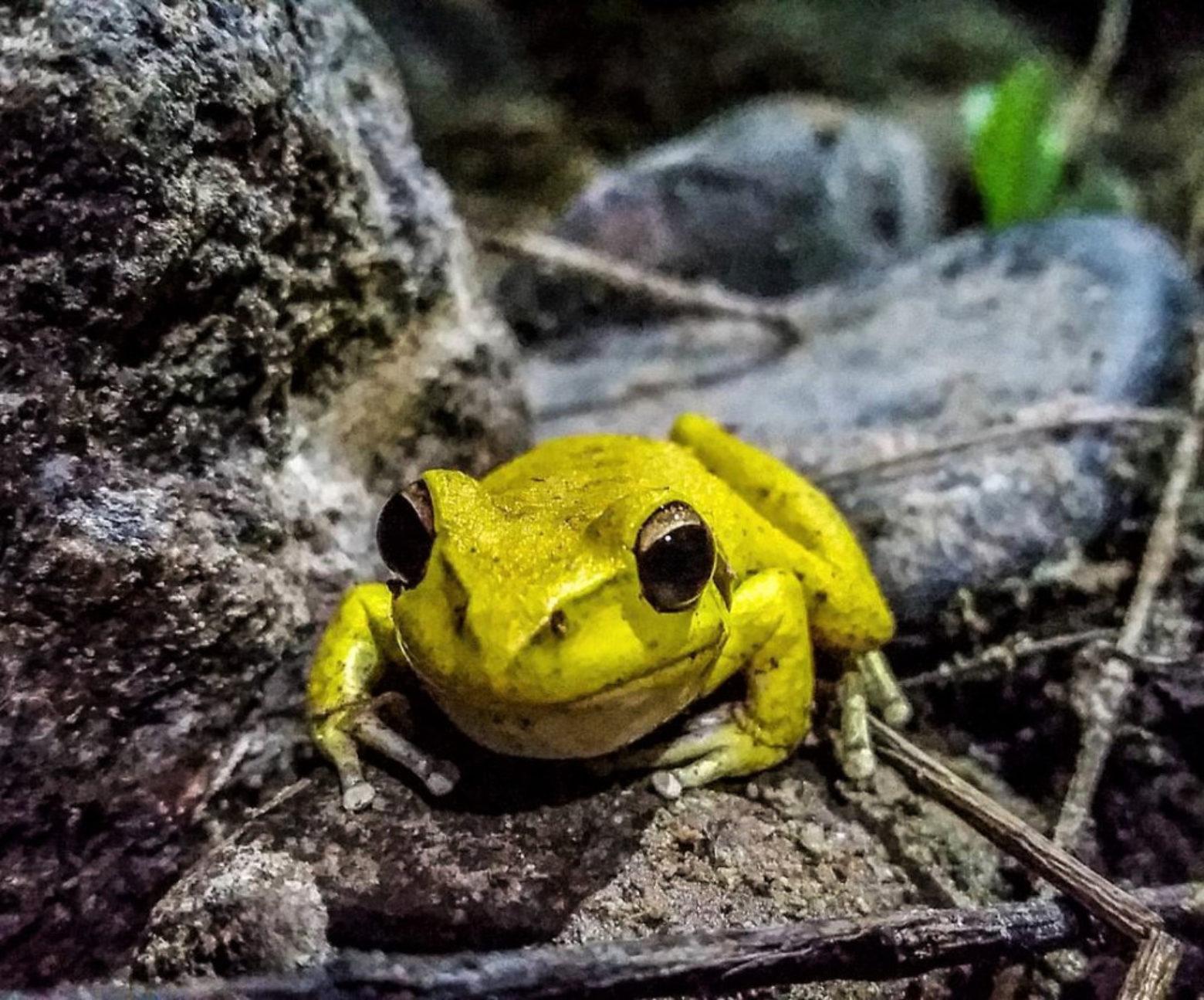 Eastern stony creek frog in Barrington Tops (photo by @albertpomeroy)